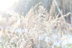 弗罗斯特接近光的冬天植物 免版税库存照片