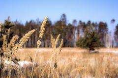 弗罗斯特接近光的冬天植物 免版税库存图片