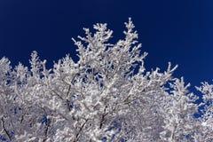 弗罗斯特树在与蓝天的冷淡的天 免版税库存照片