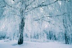 弗罗斯特树在早晨的冬天森林里与新鲜的雪 图库摄影