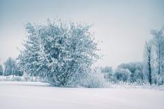 弗罗斯特树在早晨的冬天森林里与新鲜的雪 免版税库存照片