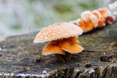 弗罗斯特盖了狂放的蘑菇 库存图片