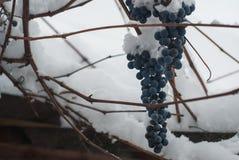 弗罗斯特破坏了收获蓝色葡萄 免版税库存图片
