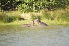 张在射击序列的河马嘴在更加伟大的圣卢西亚沼泽地公园世界遗产名录站点,圣卢西亚,南非 图库摄影