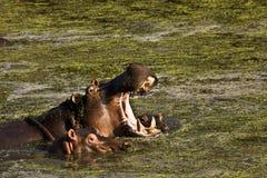 张它的嘴,克鲁格,南非的野生河马 免版税库存图片