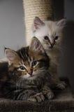 2张毛茸的面孔和2只蓬松小猫 免版税库存照片