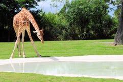 弯下来对饮料的网状的长颈鹿 免版税库存照片