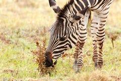 弯下来的斑马吃一朵干燥花 免版税库存图片