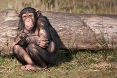 弯成拱状的黑猩猩 库存照片