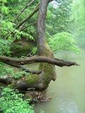 弯曲与指向注册河的树干 免版税库存图片