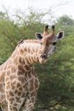 弯曲他的与鸟的长颈鹿特写镜头脖子 免版税库存照片