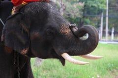 弯曲其象牙的大象 免版税图库摄影