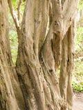 弯曲在彼此的扭转的树在森林里 免版税库存图片
