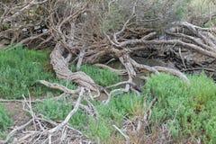 弯曲扭转树干、分支和其他盐容忍计划 免版税库存照片