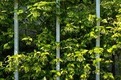 弯曲植物和藤和铁篱芭线  免版税图库摄影