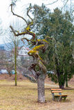 弯曲的增长的树 免版税库存图片
