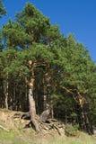 弯曲的杉木根源结构树 库存照片