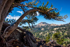 弯曲的杉木肢体和Brokeoff山,拉森国家公园` 库存图片