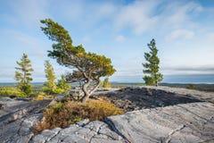 弯曲的树在山上面的生活,基拉尼奋斗 库存图片