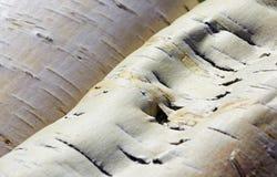 弯曲的白桦树皮一个大片断  免版税库存照片