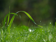 弯曲的草叶与露水,背景,拷贝空间的 免版税库存照片