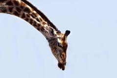 弯曲的长颈鹿 免版税库存图片