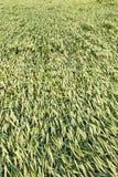 弯曲的麦子,雷暴 图库摄影