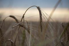 弯曲黑麦的耳朵 免版税库存照片