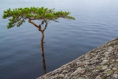 弯的杉树 库存图片