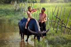 弹在一头水牛的父亲和儿子小提琴在米领域 免版税库存图片