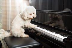 弹挺直大平台钢琴的逗人喜爱的狮子狗的概念 免版税库存照片