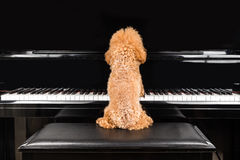 弹挺直大平台钢琴的逗人喜爱的狮子狗的概念 库存图片