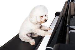 弹挺直大平台钢琴的逗人喜爱的狮子狗的概念 免版税图库摄影