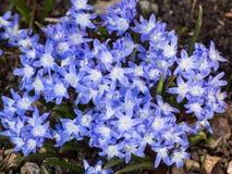 强壮的蓝色开花的白花丹属 库存图片