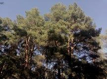 强大森林 库存图片