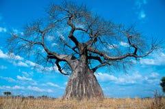 强大猴面包树结构树 免版税库存照片