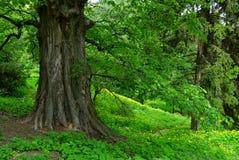 强大老结构树 免版税库存图片