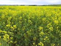 强奸植物的黄色领域,使用为做油菜油 免版税库存图片