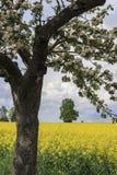 强奸的开花的苹果树和领域 免版税库存照片