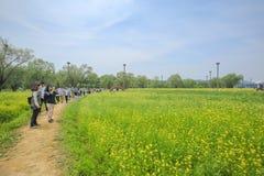强奸花汉城,韩国 免版税图库摄影