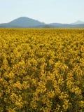 强奸茎在春天黄色开花的强奸领域 库存照片