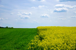 强奸领域和风景看法与年轻五谷在蓝天下与云彩 库存图片