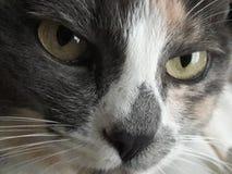 强有力的严厉的绿色猫眼凝视,颊须,多色毛皮特写镜头画象 库存图片