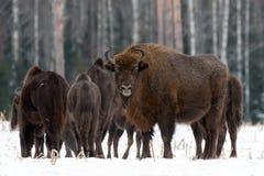 强有力的成人欧洲木北美野牛野牛,欧洲野牛,北美野牛Bonasus小心地看您他的蓝眼睛衬托 免版税库存照片