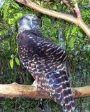 强有力的猫头鹰- Ninox strenua 免版税库存图片