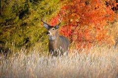 强有力的男性白尾鹿大型装配架查寻在秋天Rutting季节期间的母鹿在堪萨斯 免版税库存照片