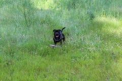 强有力的美丽的黑斯塔福德郡杂种犬 库存照片