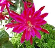 强烈地五颜六色的紫红色的昙花开花 免版税库存照片