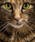 强烈地凝视的猫 免版税库存照片
