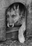 强烈的德国牧羊犬 库存图片